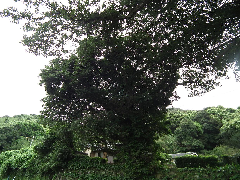 鹿児島観光案内所・久志湾のアコウ